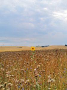 Einzelne Sonnenblume Natur