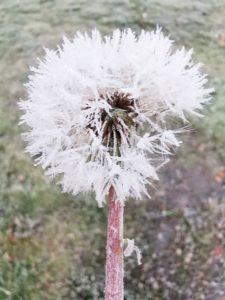 Pusteblume Eis Herbst Winter